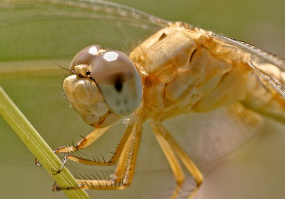 In the eye of a dragon fly
