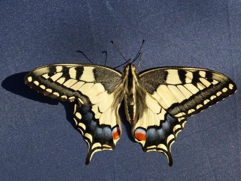 in the morning-papilio machaon
