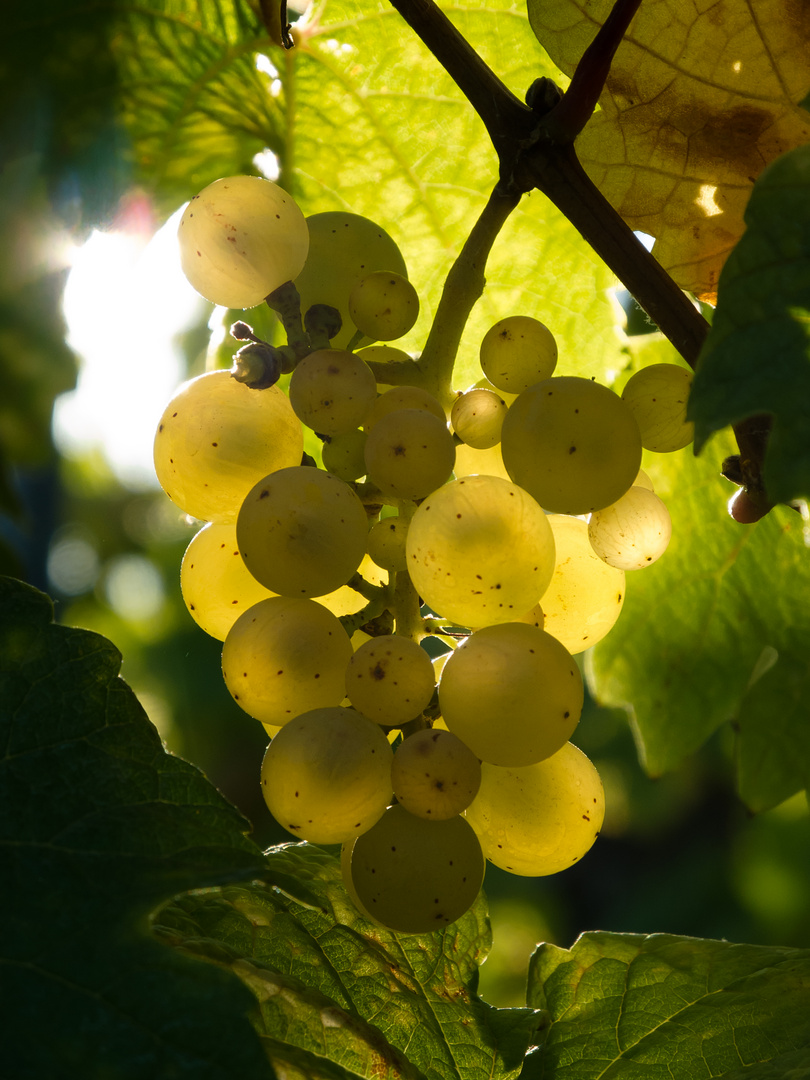 in vino lux