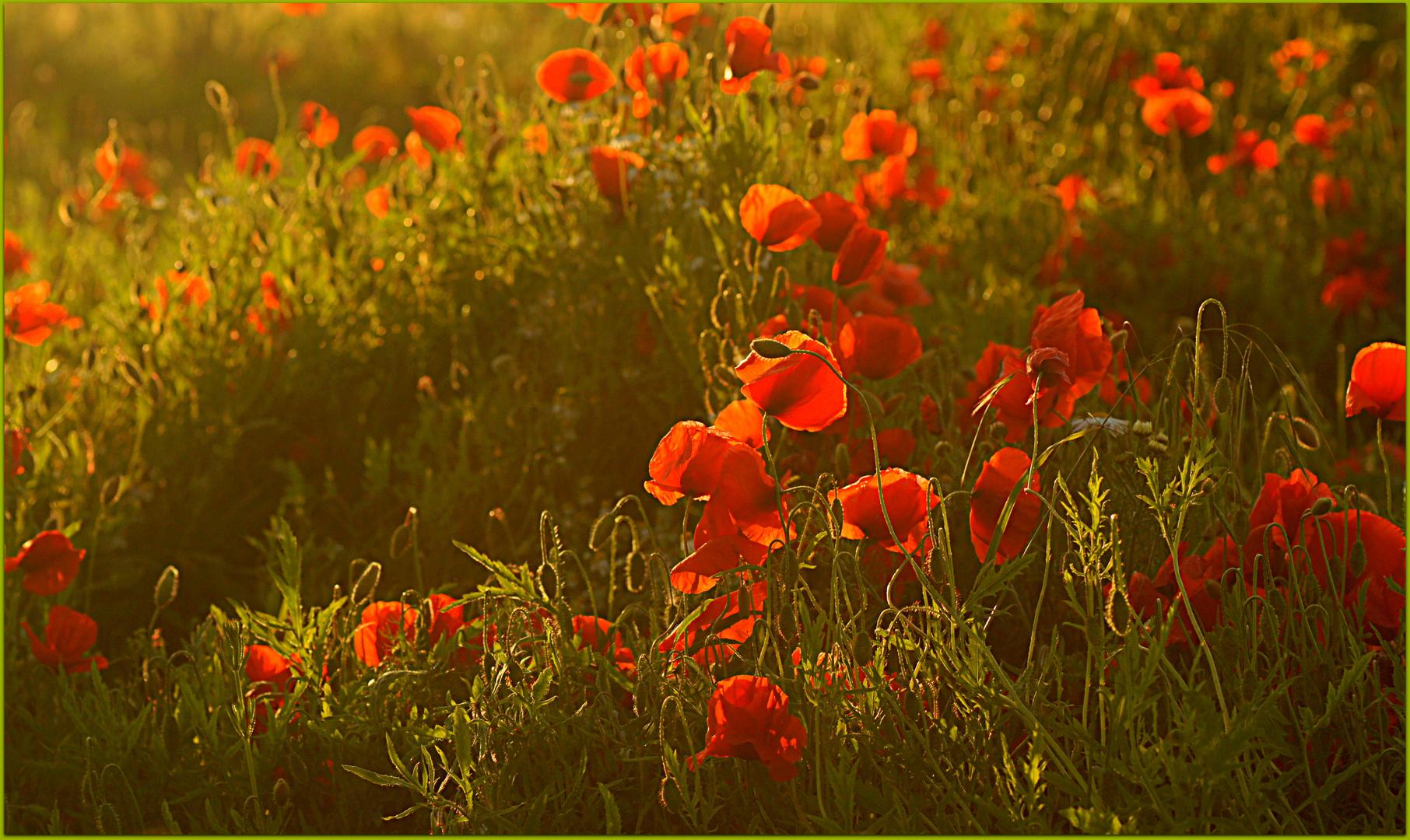In voller Blüte....