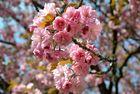in voller Blüte