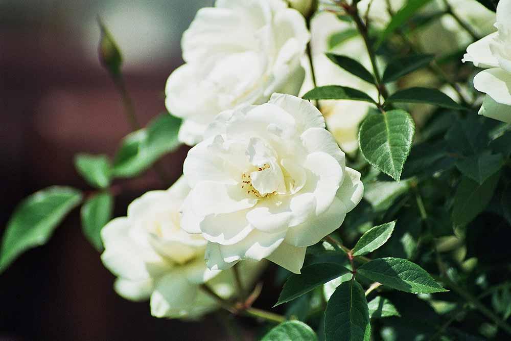 In Weiß