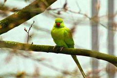 In Wiesbaden einheimischer Papagei