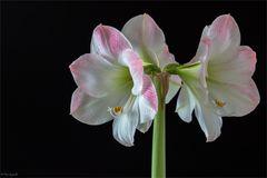 In zarten Farben und schönen Blüten ...