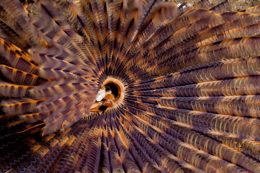 Indian Fan Worm - Sabellastarte indica - Indischer Röhrenwurm
