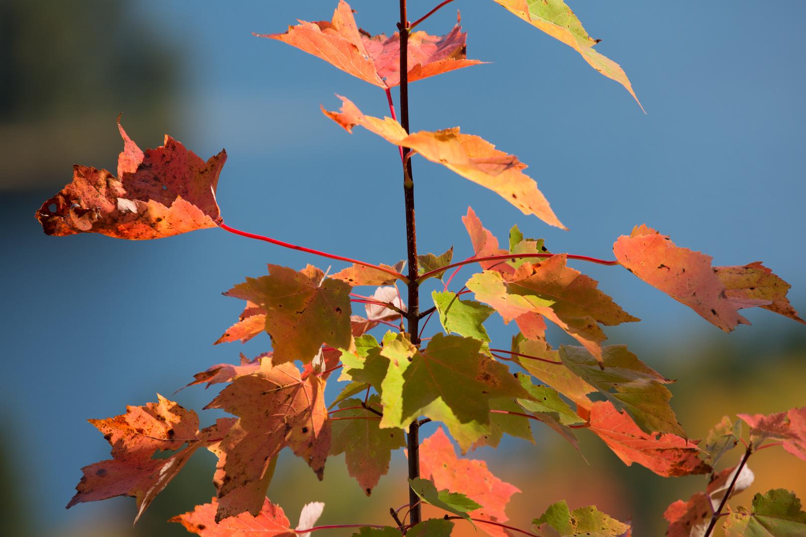 Indian Summer - Blätter