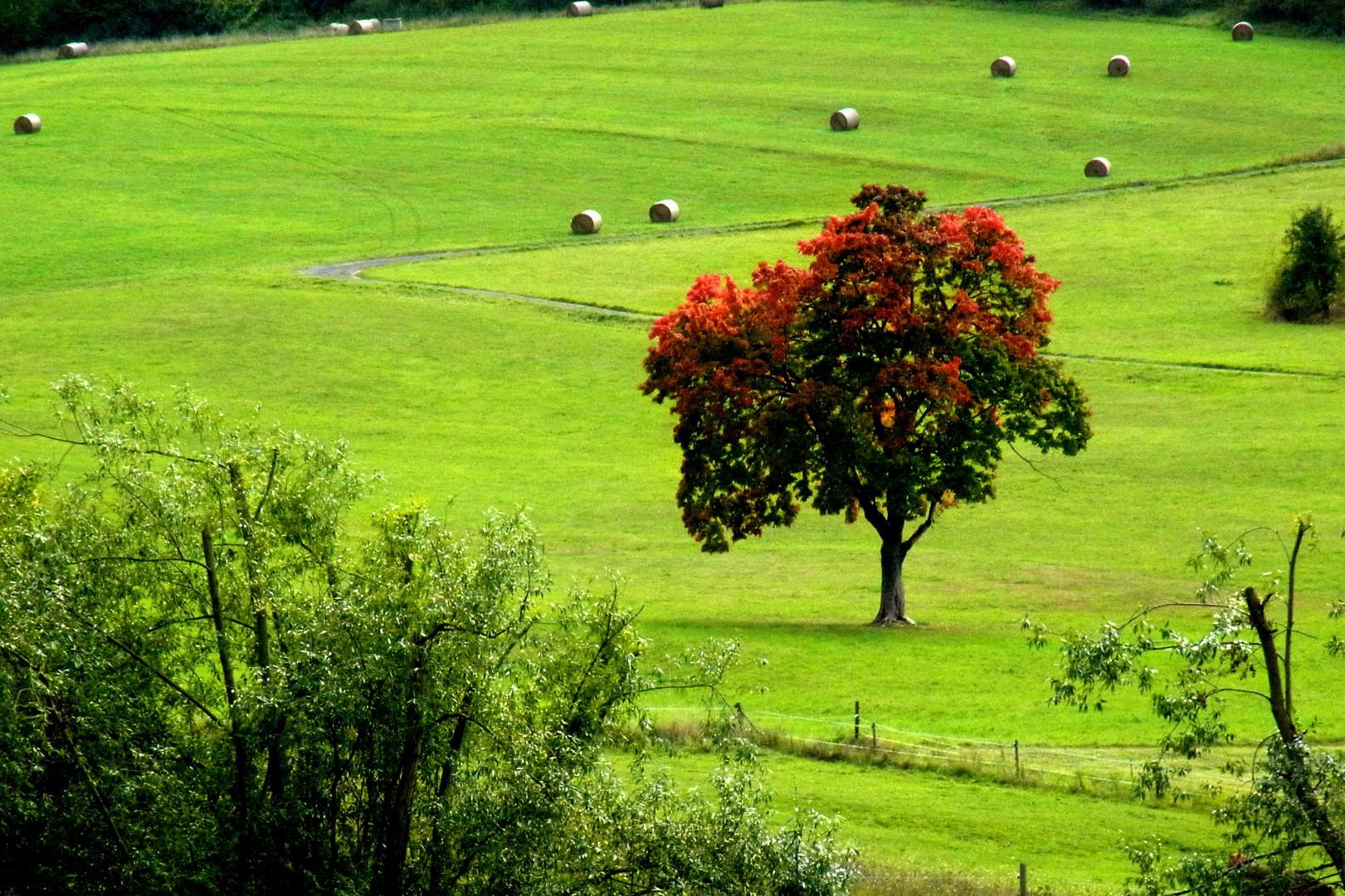 Indian Summer - Roter Baum auf grüner Wiese