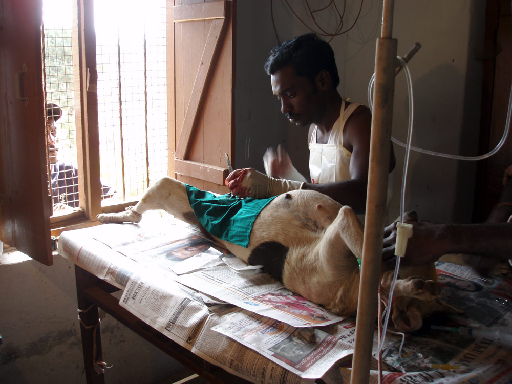 Indian Vet spaying street dog in Ooty