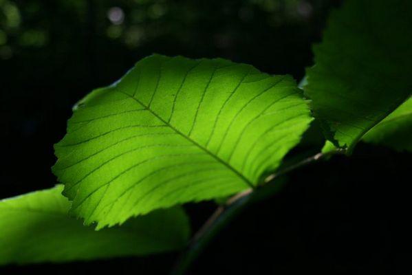 indirektes Licht durch ein Blatt