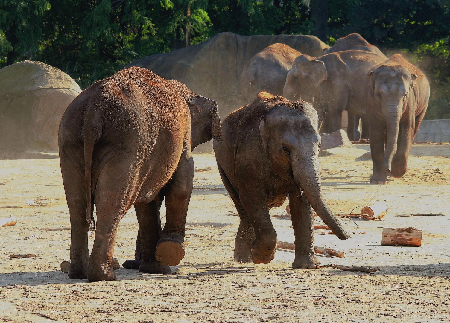 Indische Elefanten (Sri Lanka)
