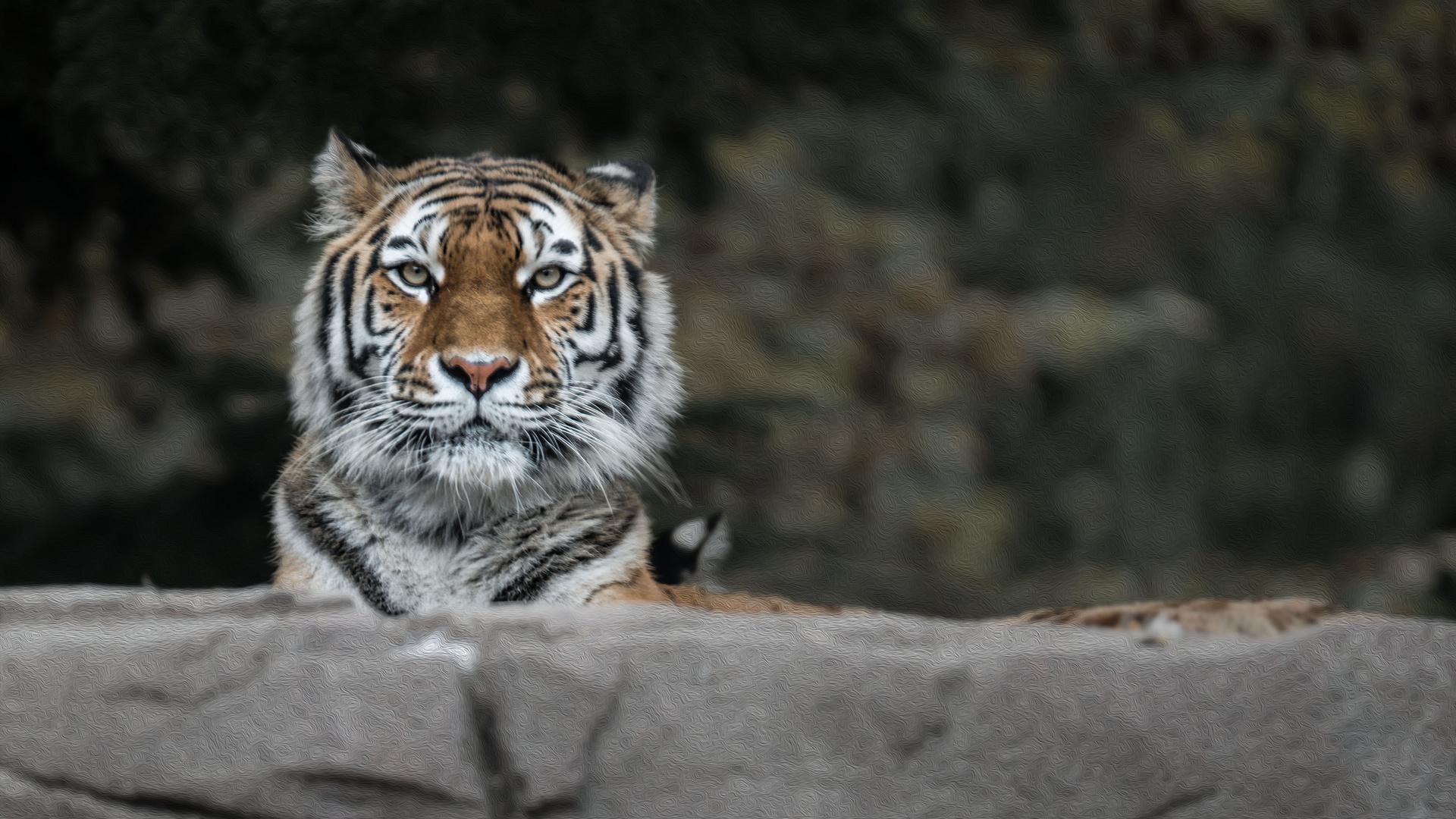 Indische Tiger