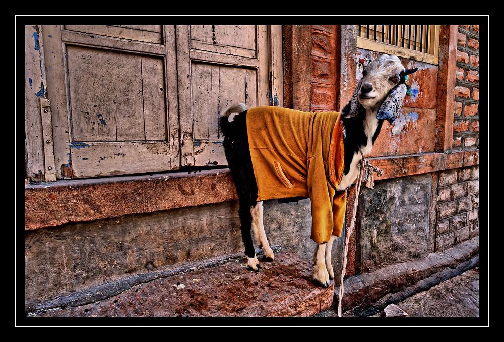 Indische Ziege im noblen Dress