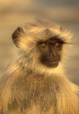 Indischer Affe in der Abenddämmerung