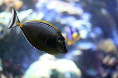 Indischer Gelbklingen-Nasendoktorfisch