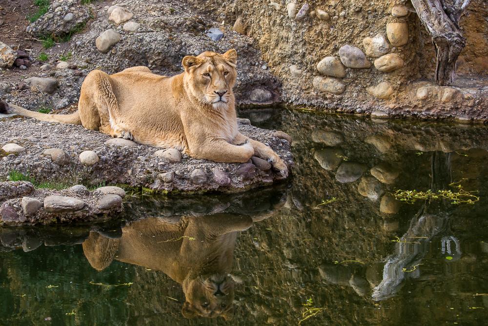 Indischer Löwe (Panthera leo persica)