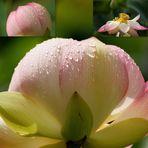 Indischer Lotus