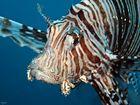 Indischer Rotfeuerfisch