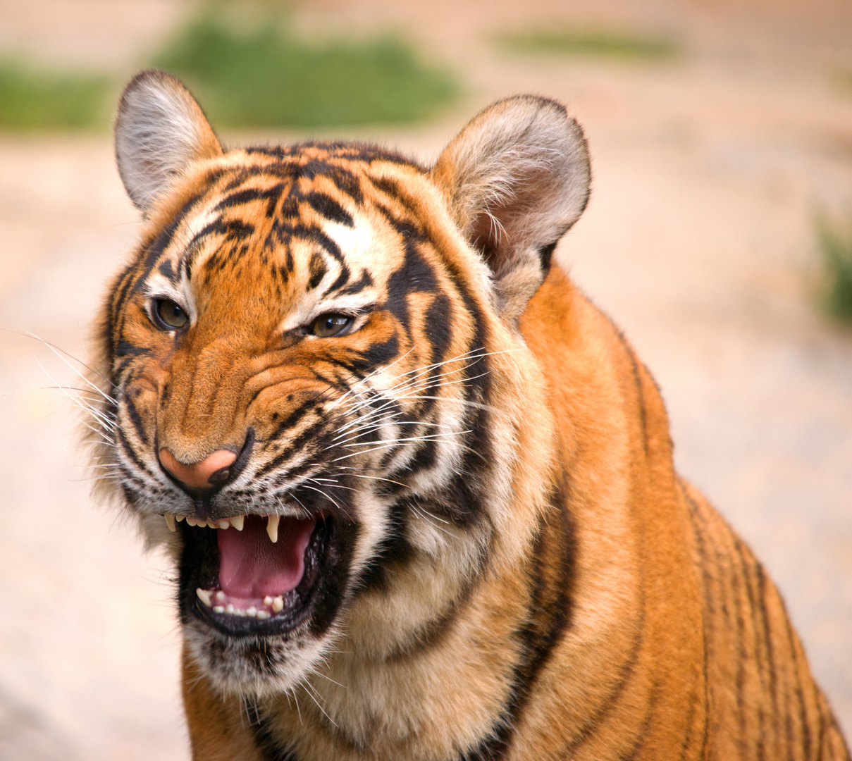 Indischer Tiger