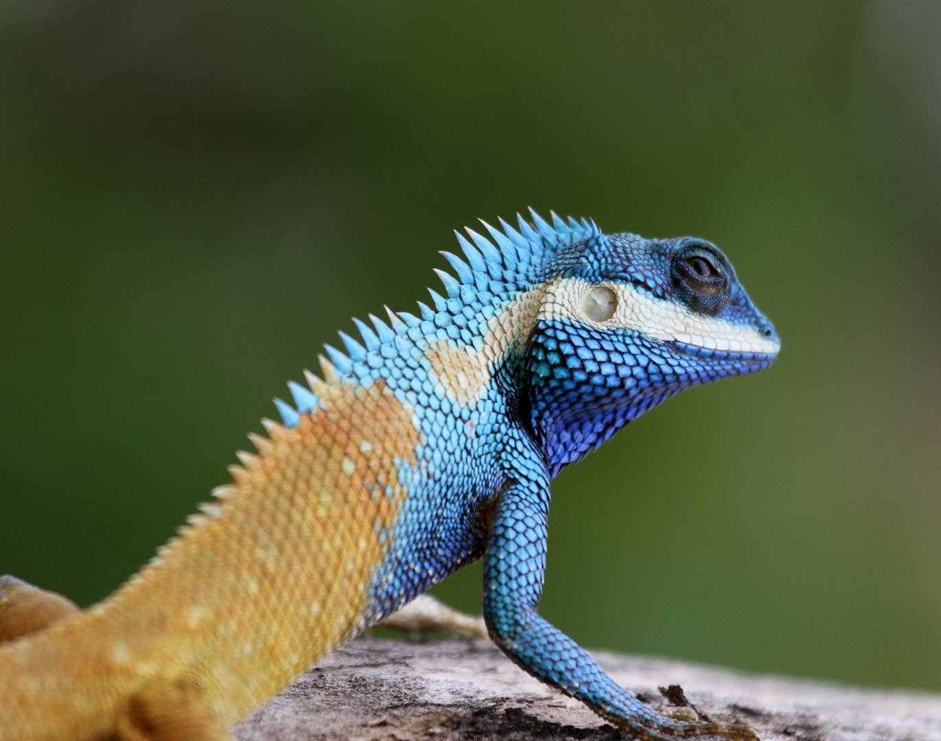 Indo-Chinese Wald Lizard