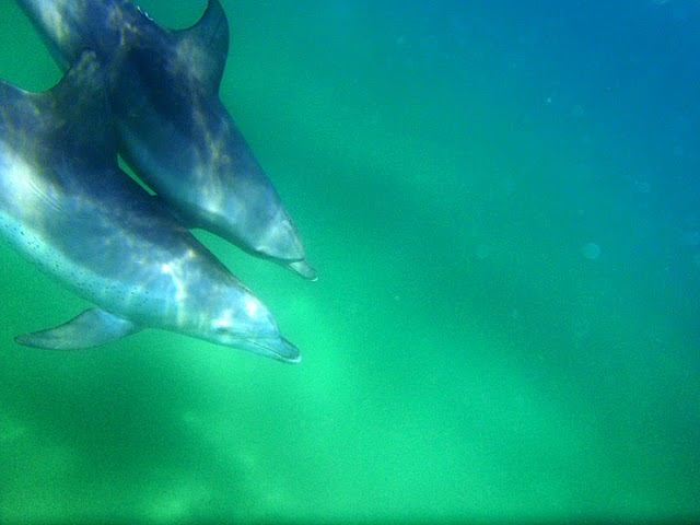 Indo-Pacific Bottlenose Dolphin Tursiops aduncus