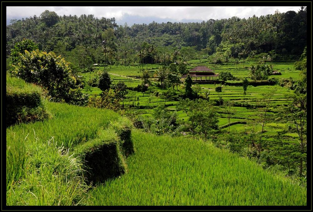 Indonesien – Reisterrassen 3