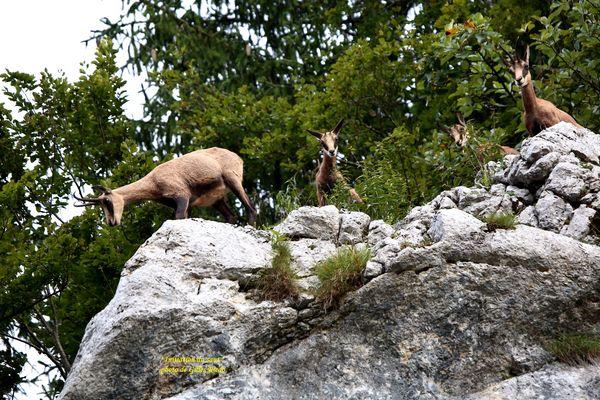 initiation des petits chamois au saut