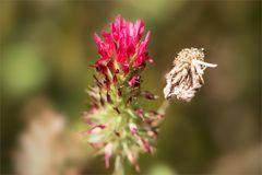 Inkarnatklee - Trifolium incarnatum...