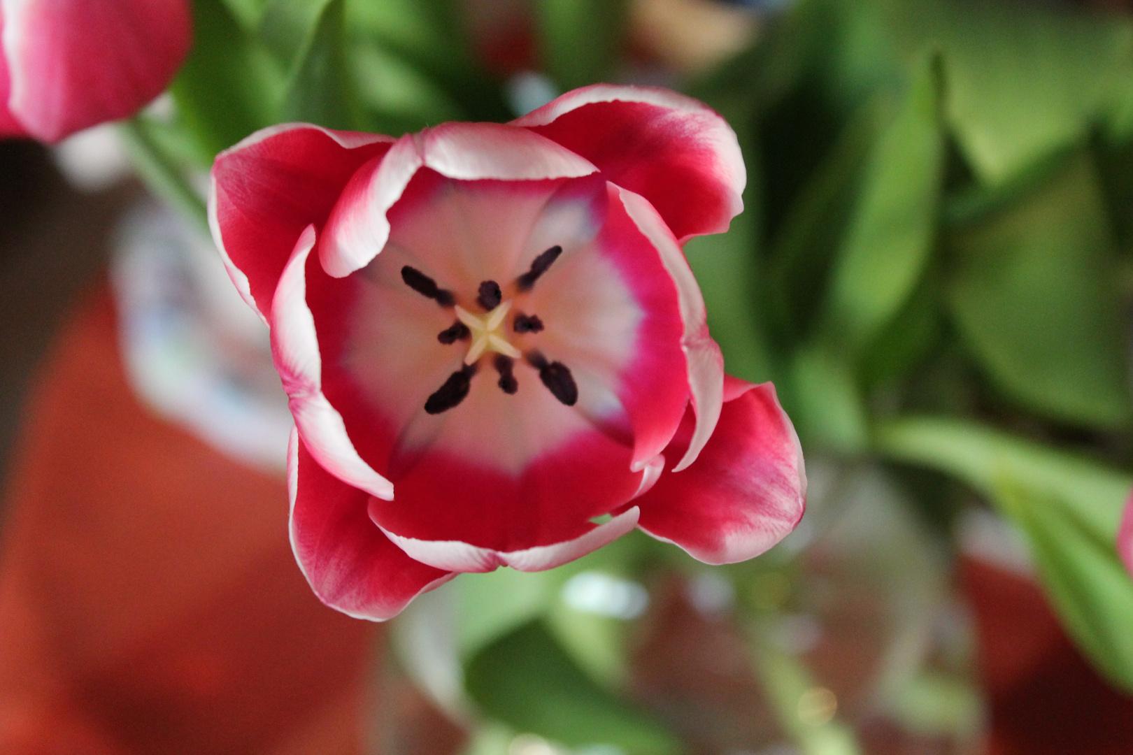 Innenleben der Tulpe