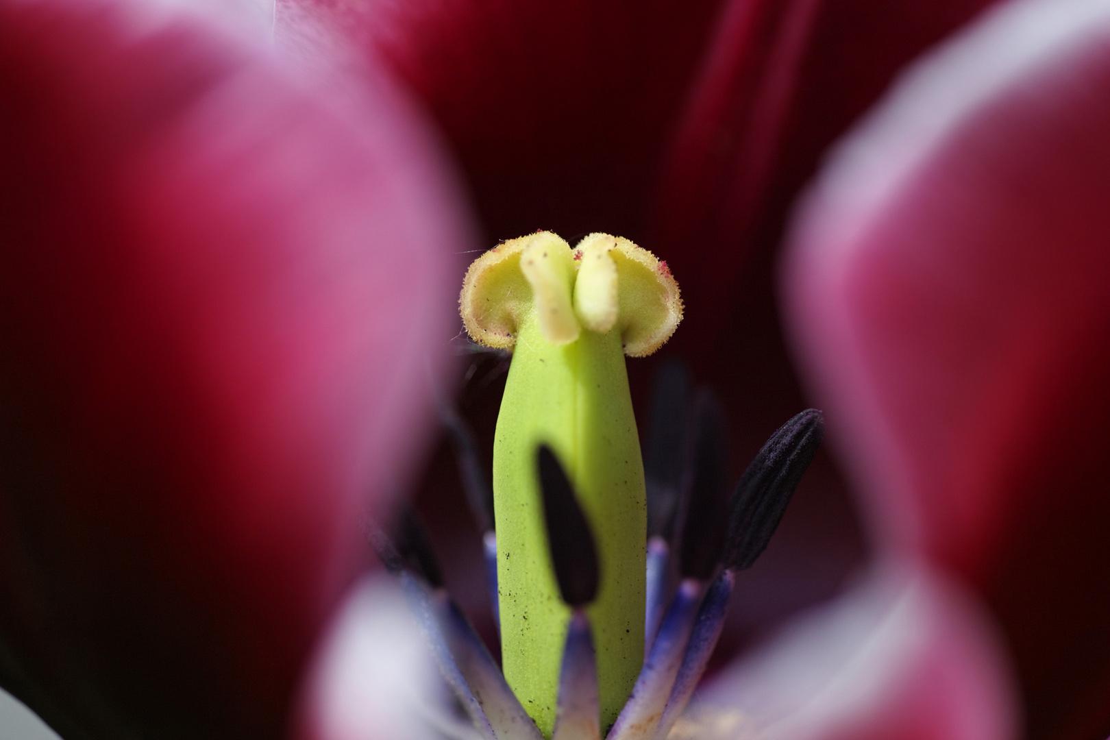 Innenleben einer Tulpenblüte