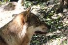 Innsbruck Alpenzoo Wolf