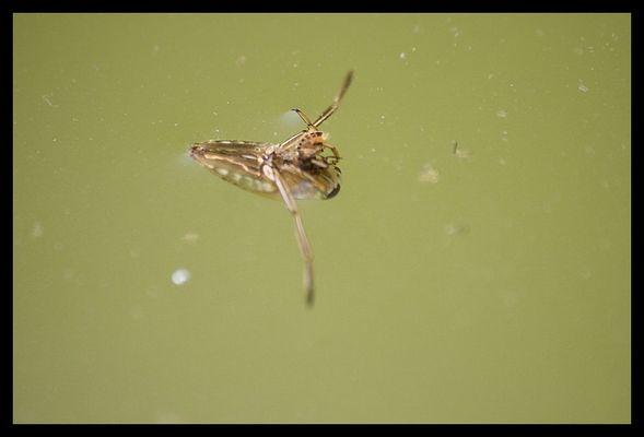 insecte dans mon étang