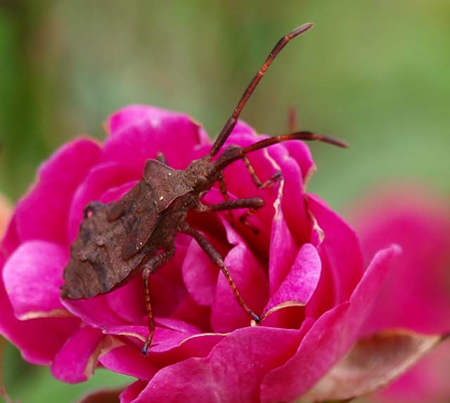 Insecte de la rose miniature