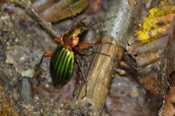 insecte des bois