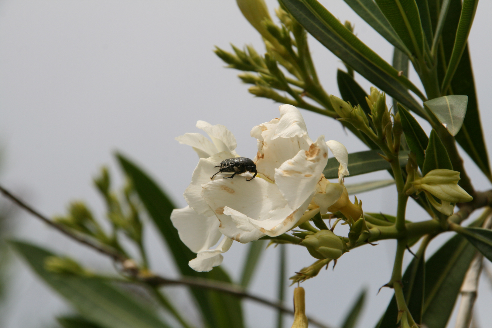 Insecte et fleur de laurier