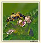 Insecte gouteur