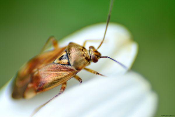 Insecte marron