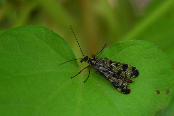 insecte sur feuille d'ipomée
