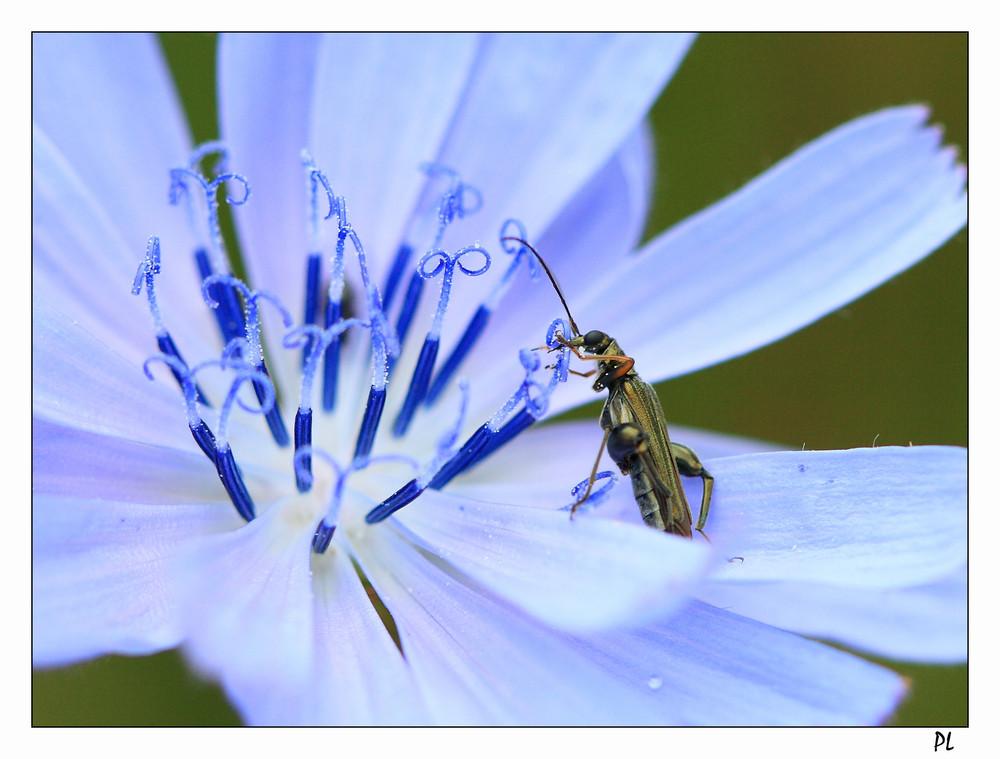 insecte sur fleur de chicorée