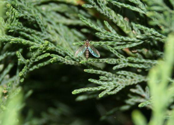 Insecte volant au repos