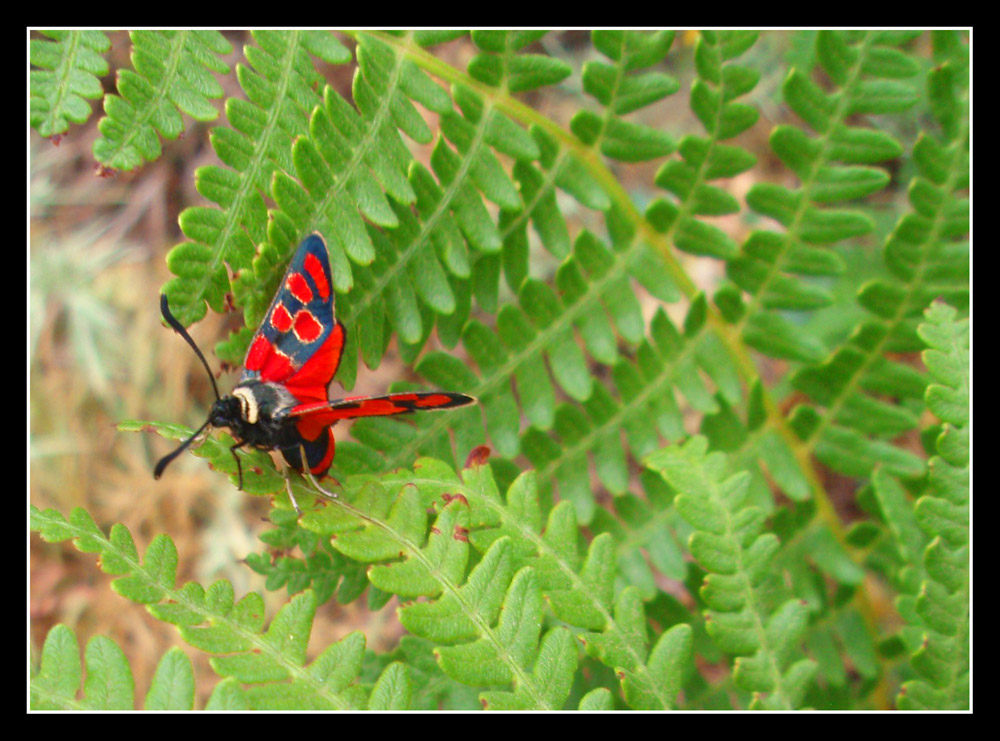 Insecto rojo Red Fly