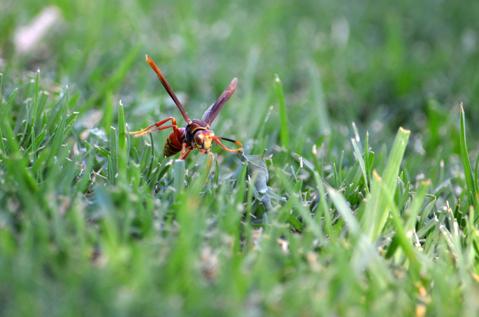 Insectos himenópteros alados con aguijón.