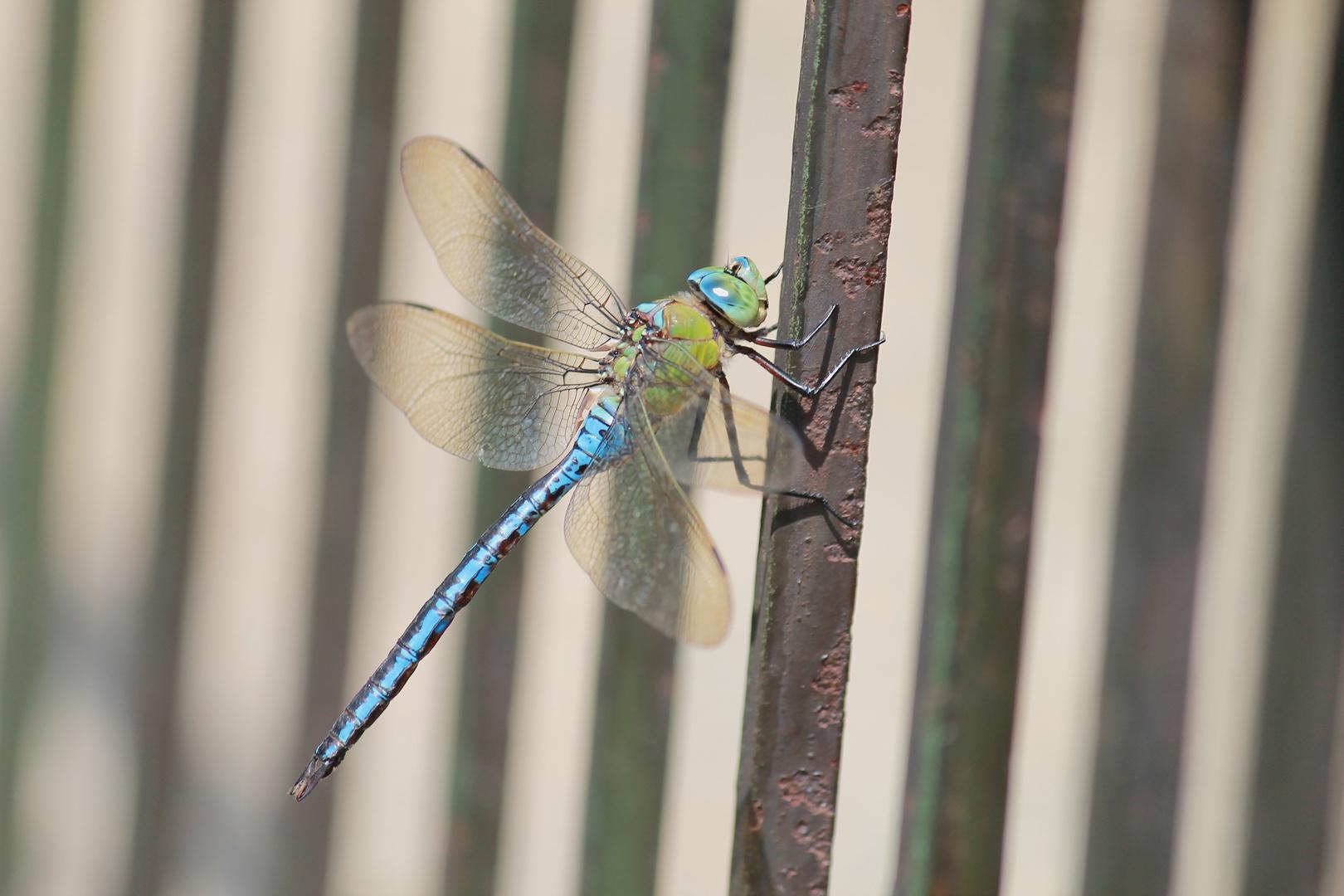 ...inseguendo una libellula in un prato...