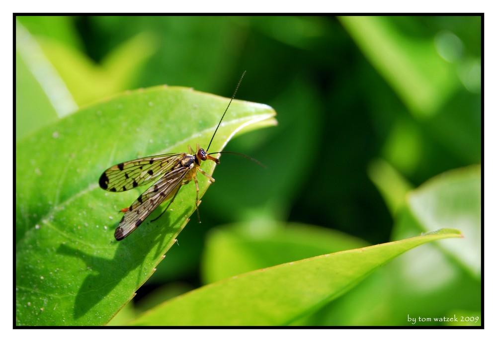 Insekt auf Blatt