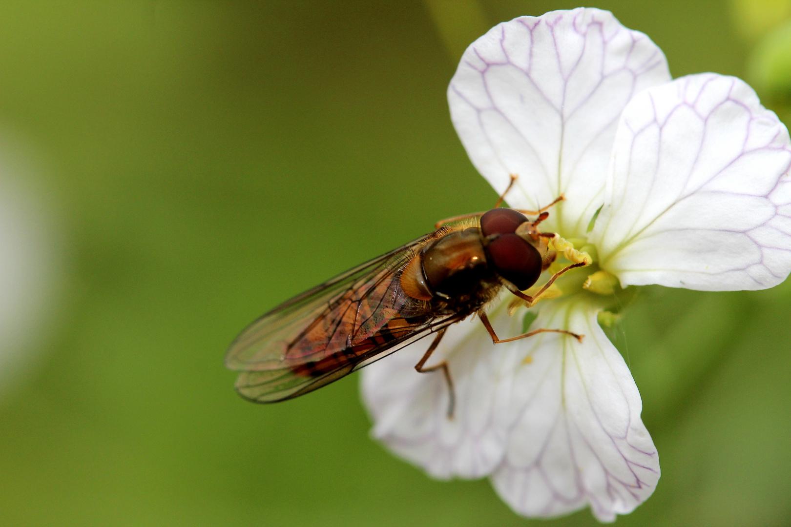 Insekt auf Blüte