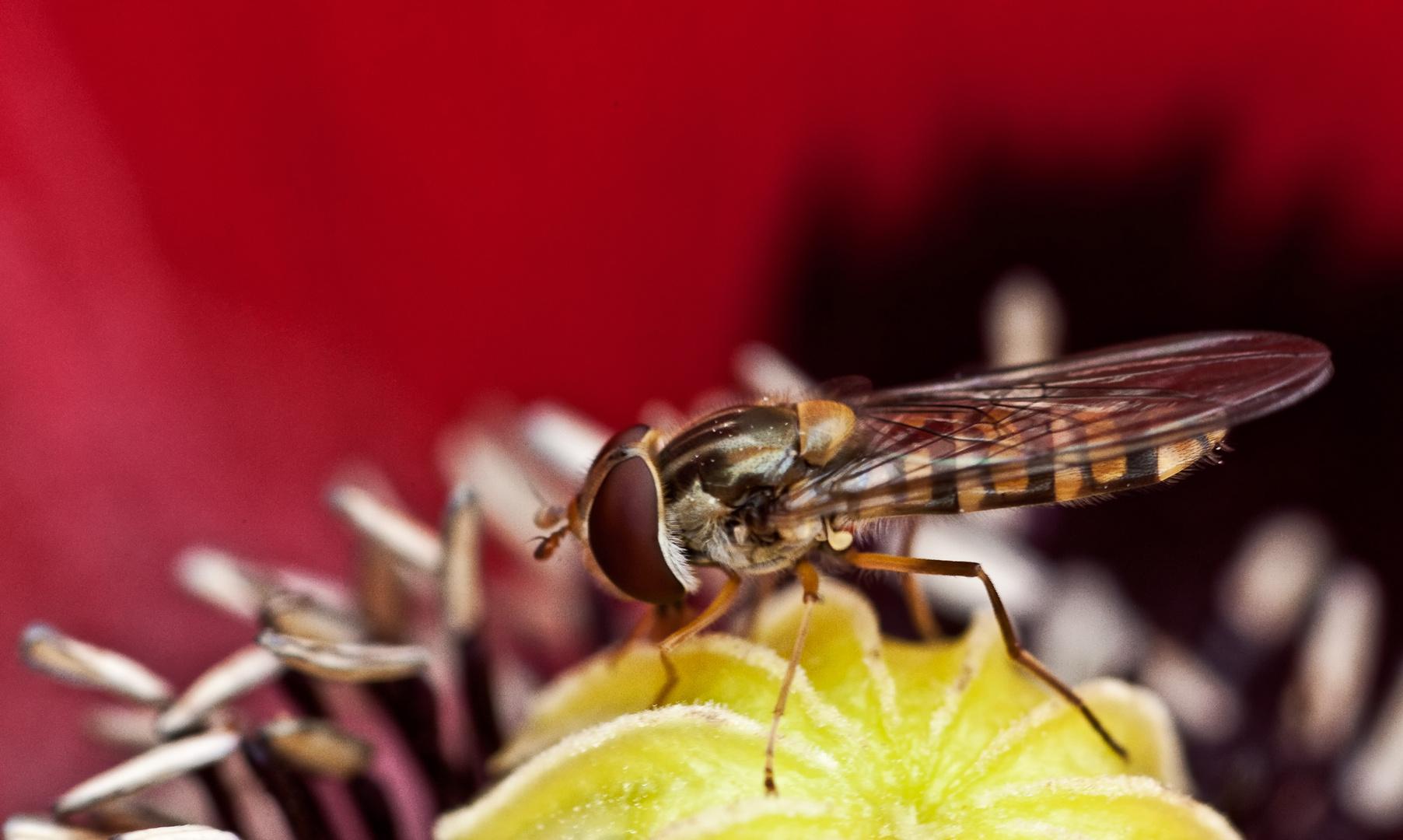 Insekt auf Mohn