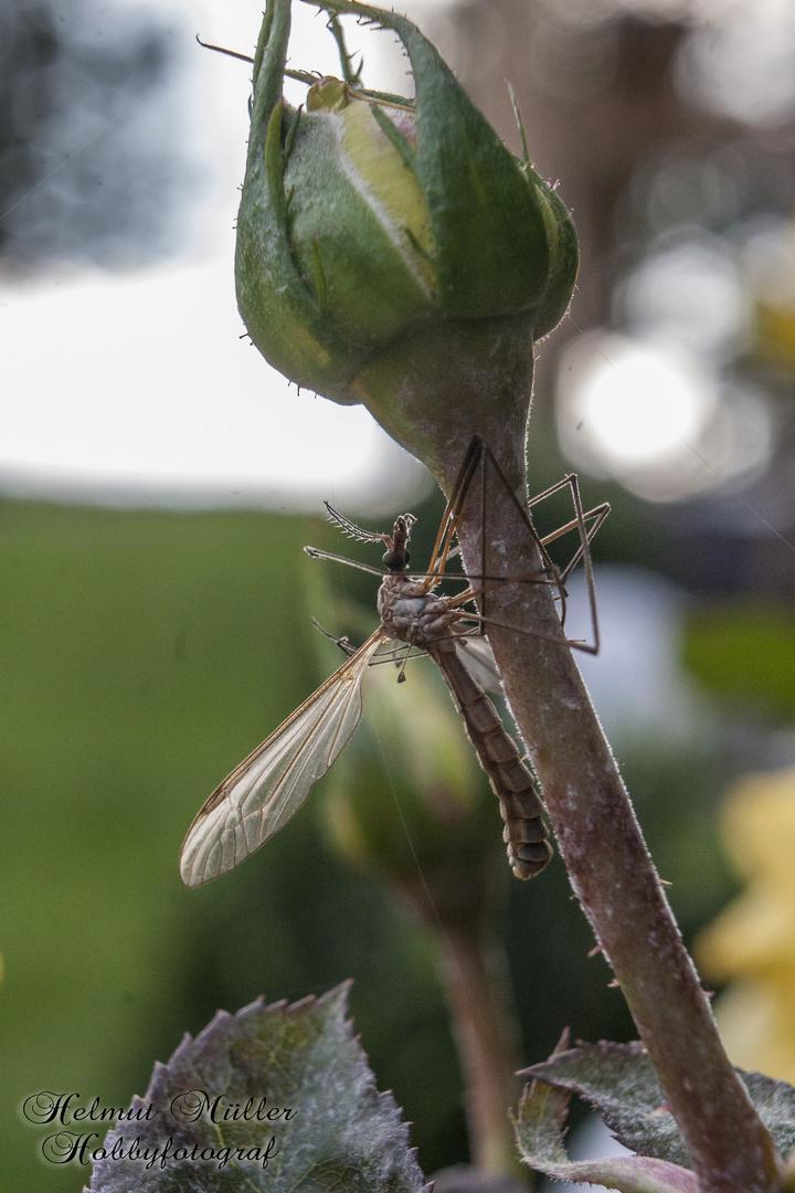 Insekt auf Rose