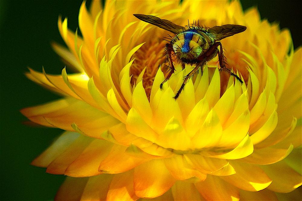 insekt auf Strohblume