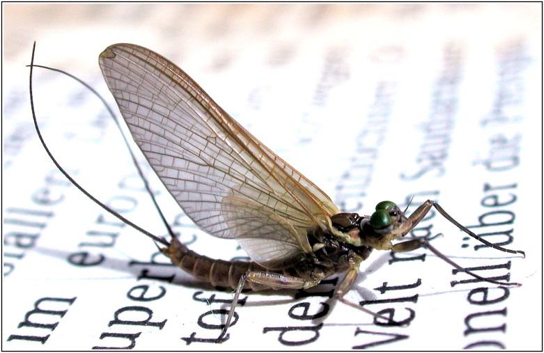Insekt  auf Zeitung