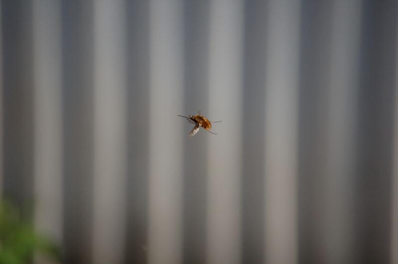 Insekt im Flug
