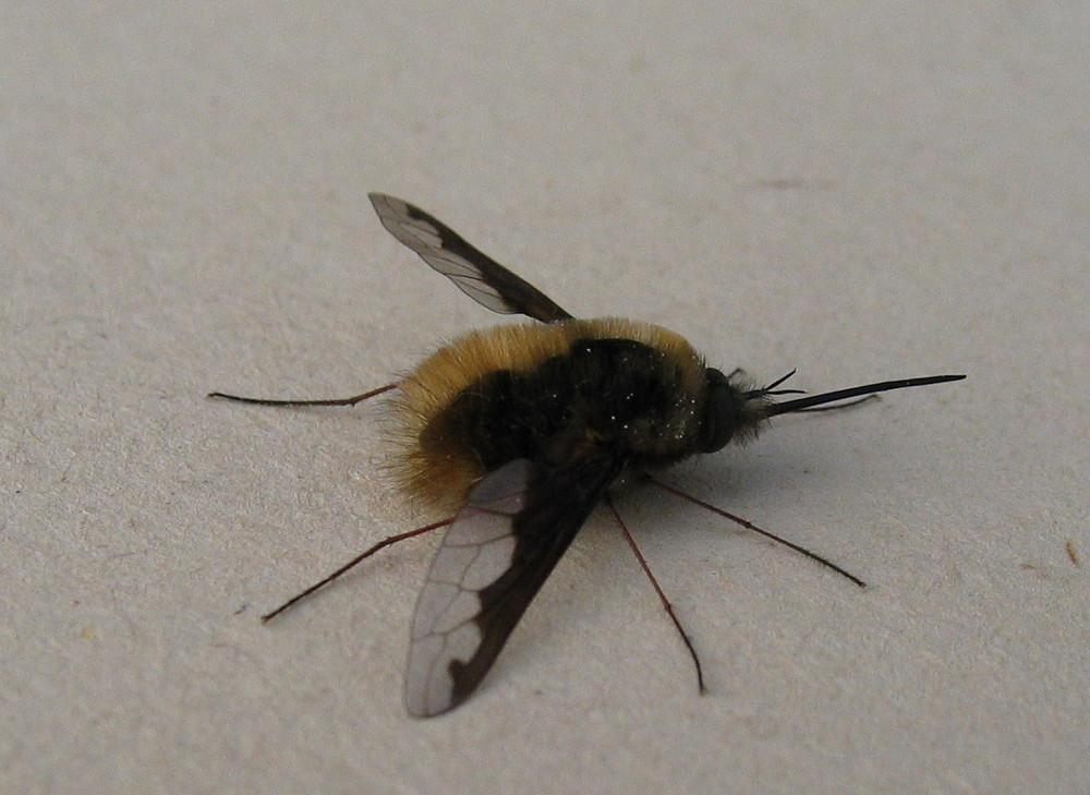 Insekt mit Saugrüssel